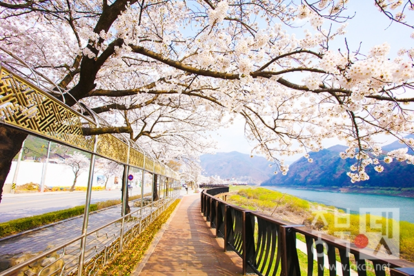 보도1)단양읍 상진리 벚꽃.jpg